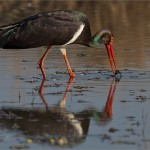 Best of Grade 4 - Black Stork - Igi Badenhorst