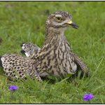 Gold, Best of Grade 4 - Nesting Dikkop - Prim van Zyl