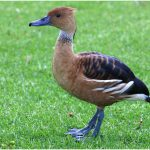 Prim van Zyl - Whisteling Duck - Gold, Best of Grade 4