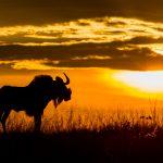 Kobus V D Berg - Wildebees - COM, Best of Grade 3