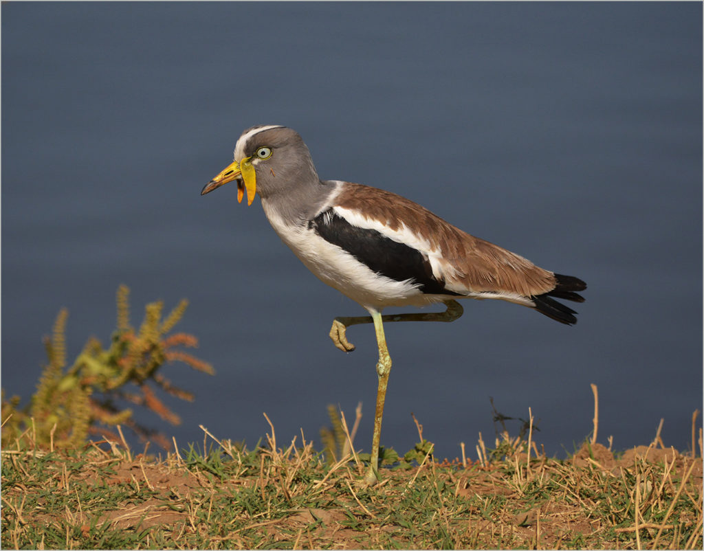 Corrie Snyman - White-Crowned Lapwing (Plover) - COM, Best of Grade 1