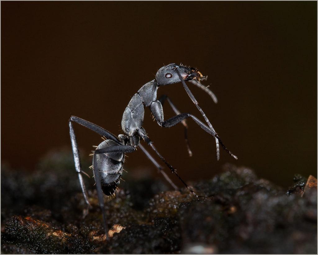 Arnold Bester - Black Ant - COM, Best of Grade 5, Best Senior, Best Evening